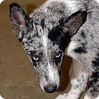 Adopt A Pet :: PacMan-Blue Eyes - Clinton, LA
