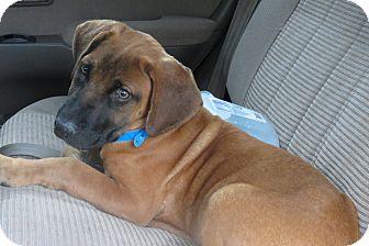 Mastiff Mix Puppy for adoption in Naugatuck, Connecticut - Tank