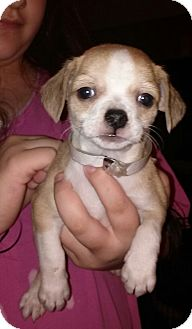 Chihuahua Mix Puppy for adoption in Houston, Texas - CARMELO