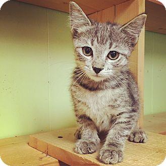 American Shorthair Kitten for adoption in Raleigh, North Carolina - Luna