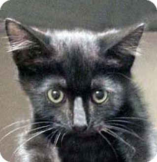Domestic Shorthair Kitten for adoption in Tiburon, California - Al