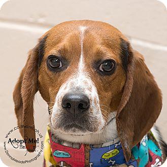 Beagle Dog for adoption in Troy, Ohio - Gunner