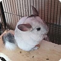 Adopt A Pet :: Puff - Granby, CT