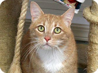 Domestic Shorthair Cat for adoption in Republic, Washington - Tarzan