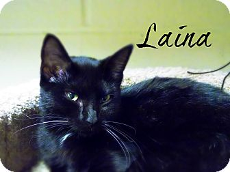 Domestic Shorthair Cat for adoption in Defiance, Ohio - Laina