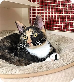 Calico Cat for adoption in Richmond, Virginia - Lake
