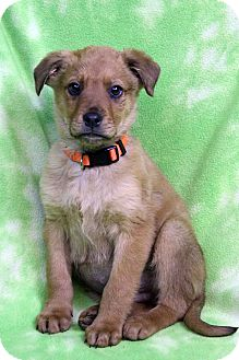 Shepherd (Unknown Type) Mix Puppy for adoption in Westminster, Colorado - ASHTON