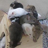 Adopt A Pet :: Mozzarella - Edmonton, AB