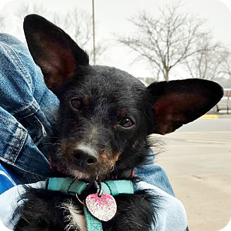 Chihuahua/Dachshund Mix Dog for adoption in Independence, Missouri - Chico