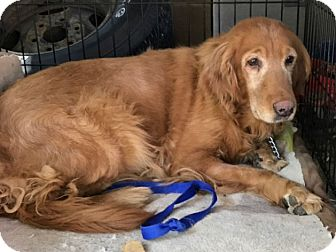 Golden Retriever Dog for adoption in Denver, Colorado - Shadow