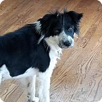 Adopt A Pet :: Honey BC - Westminster, CO