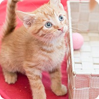 Adopt A Pet :: Lasagna - Chicago, IL