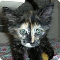 Adopt A Pet :: Molasses - St. Louis, MO