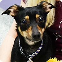 Adopt A Pet :: Amigo - Huntley, IL