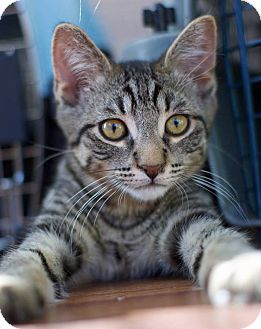 Domestic Shorthair Kitten for adoption in Troy, Michigan - Gallardo ~ lap kitten