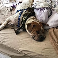 Adopt A Pet :: Sheldon - Tuckerton, NJ