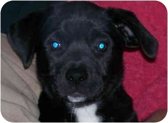 American Eskimo Dog/Rat Terrier Mix Puppy for adoption in Houston, Texas - Bella Mia