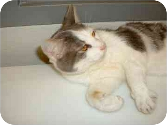 Domestic Shorthair Cat for adoption in Franklin, Indiana - Salem