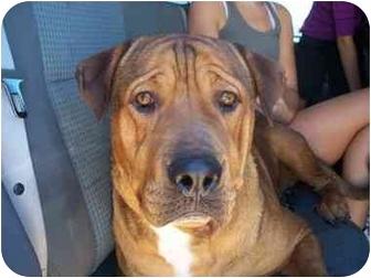 Rottweiler/Mastiff Mix Dog for adoption in Mesa, Arizona - BG