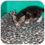Photo 3 - Domestic Shorthair Kitten for adoption in Secaucus, New Jersey - Tigress