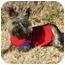 Photo 3 - Cairn Terrier Dog for adoption in Muldrow, Oklahoma - Zachariah