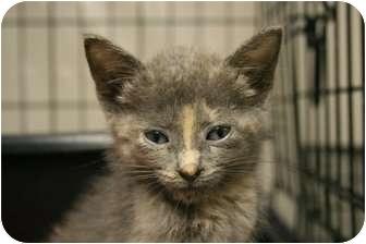 Domestic Shorthair Kitten for adoption in Pinehurst, North Carolina - Amaryllis