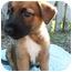 Photo 4 - Shepherd (Unknown Type)/Australian Shepherd Mix Puppy for adoption in Detroit, Michigan - Forsythia-Adopted!