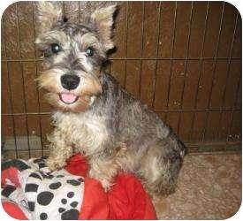 Schnauzer (Standard) Puppy for adoption in North Benton, Ohio - Heather 6 mo