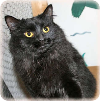 Maine Coon Cat for adoption in Howell, Michigan - Lizzy