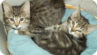 Domestic Shorthair Kitten for adoption in Randolph, Vermont - Kittens-Tiger