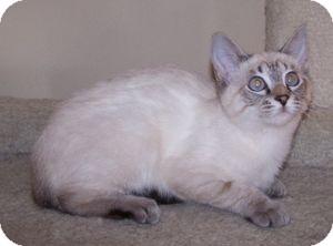 Siamese Kitten for adoption in Colorado Springs, Colorado - K-Tucker1-ZsaZsa