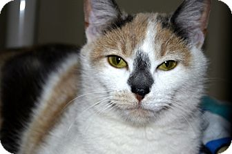 Domestic Shorthair Cat for adoption in Xenia, Ohio - Emmie