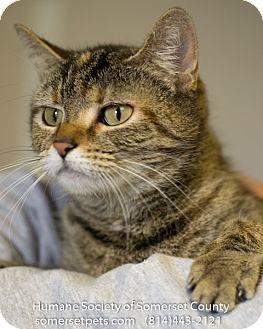 Domestic Mediumhair Cat for adoption in Somerset, Pennsylvania - Sydney