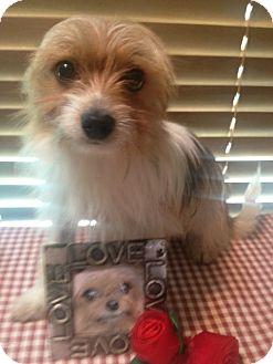 Maltese/Papillon Mix Dog for adoption in East Hartford, Connecticut - Bradley ADOPTION PENDING