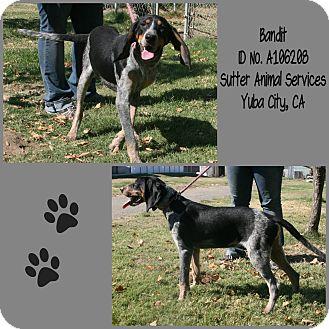 Bluetick Coonhound Mix Dog for adoption in Yuba City, California - 08/15 Bandit