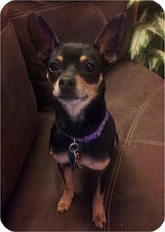 Chihuahua/Miniature Pinscher Mix Dog for adoption in Villa Rica, Georgia - Dillon - Saved From Death Row