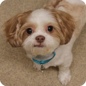 Shih Tzu Mix Dog for adoption in Naperville, Illinois - Daisy