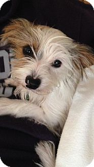 Terrier (Unknown Type, Small) Mix Dog for adoption in Hilliard, Ohio - Lulu