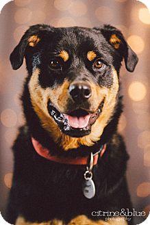Rottweiler/German Shepherd Dog Mix Dog for adoption in Portland, Oregon - Venus