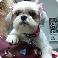 Adopt A Pet :: Sugar - Encinitas, CA