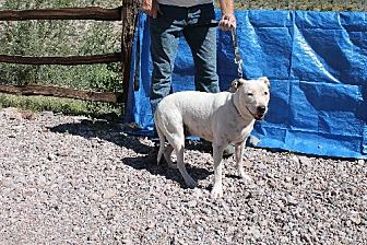 Pit Bull Terrier Dog for adoption in Golden Valley, Arizona - Mandi