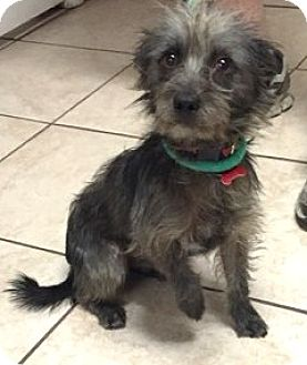 Terrier (Unknown Type, Small) Mix Dog for adoption in Encino, California - Mud Pie