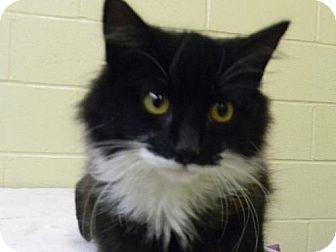 Domestic Longhair Kitten for adoption in Tyner, North Carolina - Squirt