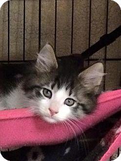 Domestic Mediumhair Kitten for adoption in Riverside, California - Cody