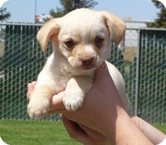 Terrier (Unknown Type, Small) Mix Puppy for adoption in Lathrop, California - Gatsby
