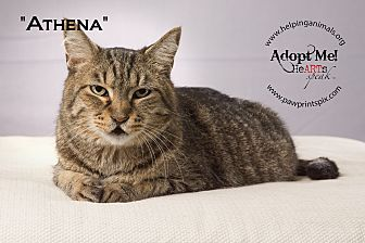 Domestic Shorthair Cat for adoption in St. Charles, Illinois - Athena