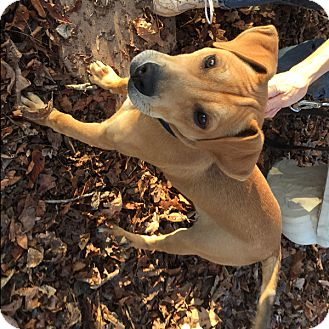 Terrier (Unknown Type, Medium) Mix Puppy for adoption in McCormick, South Carolina - Mac