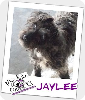 Schnauzer (Miniature)/Bichon Frise Mix Dog for adoption in Lancaster, Kentucky - JayLee