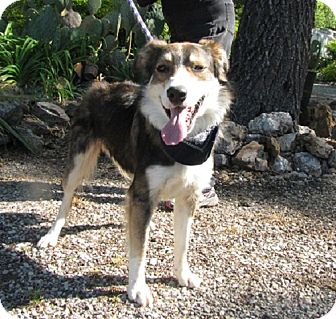 Australian Shepherd Mix Dog for adoption in Oakland, Arkansas - Gordie
