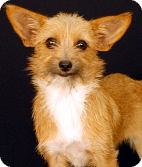 Chihuahua Mix Dog for adoption in Newland, North Carolina - Gabby